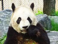 Toronto Zoo Panda-mo