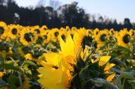 Sunflowers #robertro
