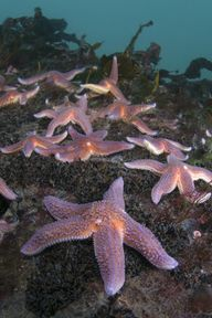 Common starfish - No
