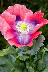 Papaver Flower with