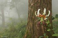 Lilium speciousm var