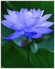 The blue Lotus flowe