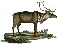 Early Reindeer Pictu