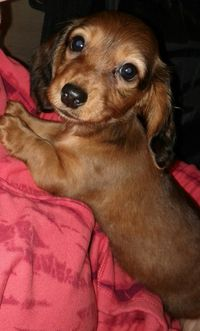 This dachshund  baby is very sweet. XOXOXO
