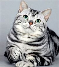 American Shorthair cats, Free Animal Pictures