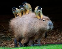Squirrel monkey & Capybara by sandra