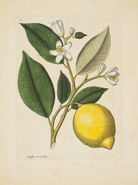 Large_pfeiffer_citron