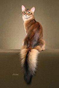 Somali Cat Breeders--adultMales