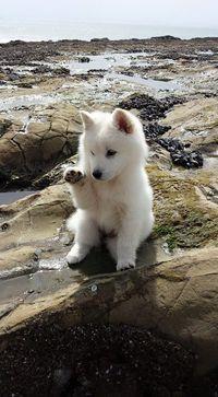 Jindo - American Kennel Club
