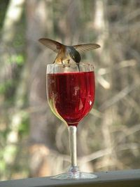 hummingbird drinking wine
