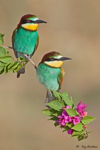Bee-eaters by Roy Avraham   500px