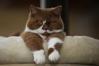 CyBeRGaTa - Cats, Memes, New Mexico — Chocolate British Shorthair  by Petra Arians