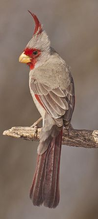 Desert cardinal, Cardinalis sinuatus, is a medium-sized North American song bird found in the American southwest and northern Mexico