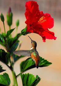 Delightful Hummingbird Photograph - Delightful Hummingbird, Fine Art Print ...........click here to find out more http://googydog.com