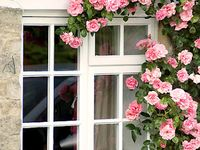 Shrub rose training techniques and images An Essential English rose garden element