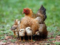 Chickens <3 <3 <3