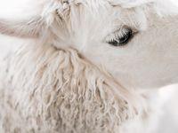 Wooly wonders