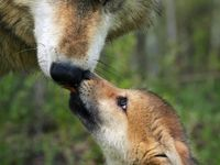 Coyote°Fox°Wolf...°