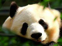 Dieren: Panda's