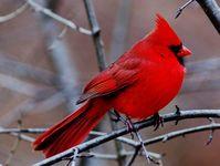 Nature: Birds: Cardinals