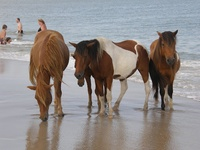 Corolla NC wild ponies