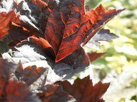 Gardening - Flowers - Perennials