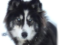 Husky/wolf Mix