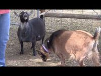 Animal Care: Goats