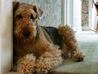 Airedale / Waterside Terrier / Bingley Terrier #Scenthound #Dogs #Puppy #Dog #Puppies #Hunting