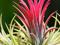 Tillandsia r small air plants that I add to found objects in the garden.  Very useful in succulent arrangements