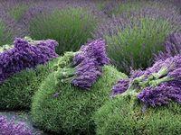 Lavender World