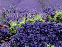 Lavender~ Always, All Ways