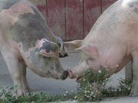 Just Piggies!!!!!!!!!!!!!!