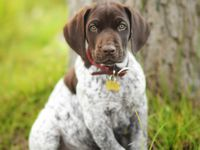All you need is love and a German Shorthair puppy!!