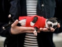 Boston Terrier's, Chihuahua's and other precious fur babies.
