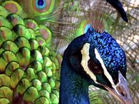 Peacocks, their colors and anything in peacock style. My language is Afrikaans and we call a peacock a pou