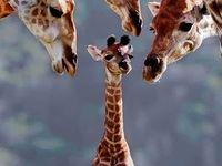 Crazy Giraffe Lady