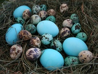 Eggs. Natural and Decorative. Nothing's More Beautiful. An Aquired Fascination From Helping Gather Eggs As a Child.