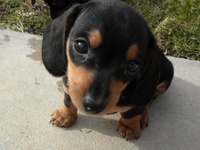 All Things Doxie