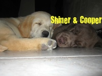Shiner (yellow lab) & Cooper (chocolate lab) were born on January 23, 2012.  Shiner is a happy little puppy.  He gets into everything & has SO much energy.  Cooper is my sweet puppy.  He loves to be held when he sleeps & he's really mellow.  I love both my 'lil fools so much. <3  This board are things I have found that remind me of my sweet dogs.