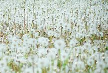 dandelions / by Melissa Tibbals-Gribbin