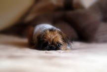 Brussels Griffons / by Susan Asbill