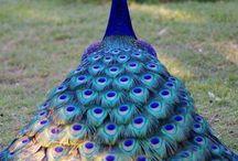 Peacocks <3 / by Stacia Dellamar