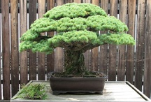 Bonsai Tree of the Day / The Beautiful World of Bonsai - trees in pots. Are you a fan of the art? Do you have any trees or have you ever had one? Where did you first encounter bonsai trees? Mr. Miyagi anyone? / by Gaius Chamberlain