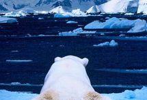 polar bears / by Gina Hackworth