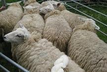Sheep / Schafsbilder / by Krempelliesel