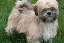 Lhasa apso / by Diana Gopp
