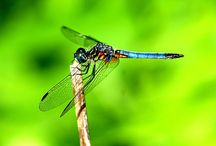 dragonflies and damselflies / by Millie Coquis