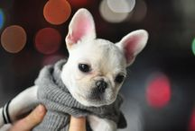 Frenchie Love / by Sara Schaaf