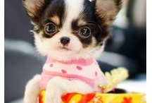 I love Chihuahuas / by Evelyn Bartosch